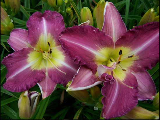 Sovereign Queen daylily