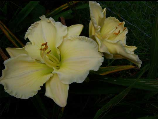 Too Marvelous daylily